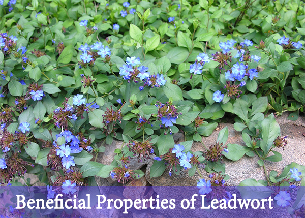 Beneficial properties of leadwort