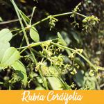 Rubia Cordifolia