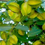 Arjun Tea (Terminalia Arjuna)