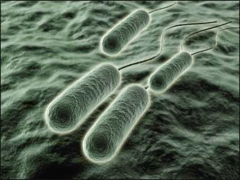 pseudomonas-aeruginosa