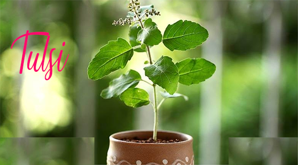 Amazing Health Benefits of Tulsi (Occimum Sanctum)